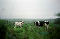 Ireland, Biking, Cows