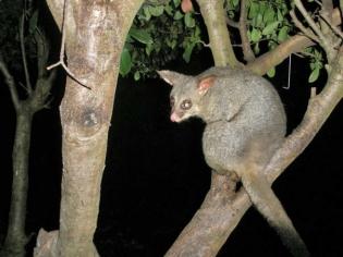 Possum