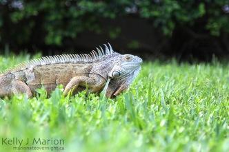Iguana at Billy Bones, Treasure Island