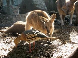 roo-bird