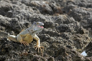 Iguana on the Ironshore at Eden Rock